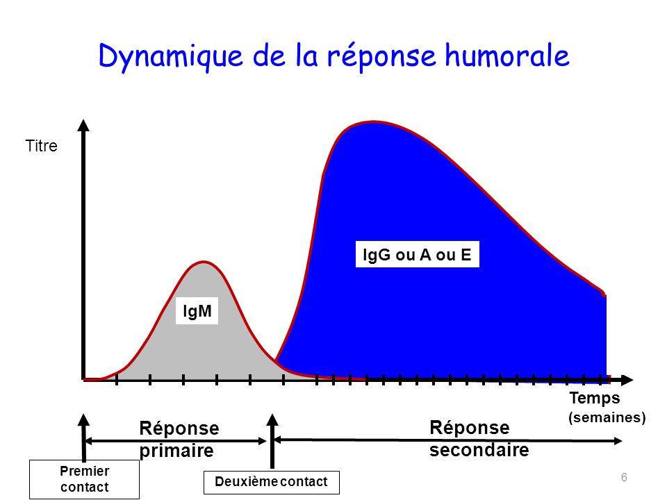 Dynamique de la réponse humorale 6 Temps (semaines) Titre Réponse primaire Réponse secondaire IgM Premier contact Deuxième contact IgG ou A ou E