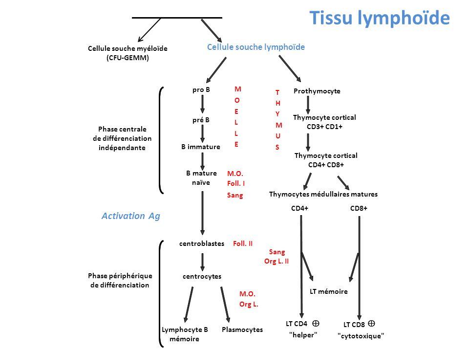 Cellule souche totipotente Cellule souche lymphoïde Cellule souche myéloïde (CFU-GEMM) Phase centrale de différenciation indépendante pro B pré B B im