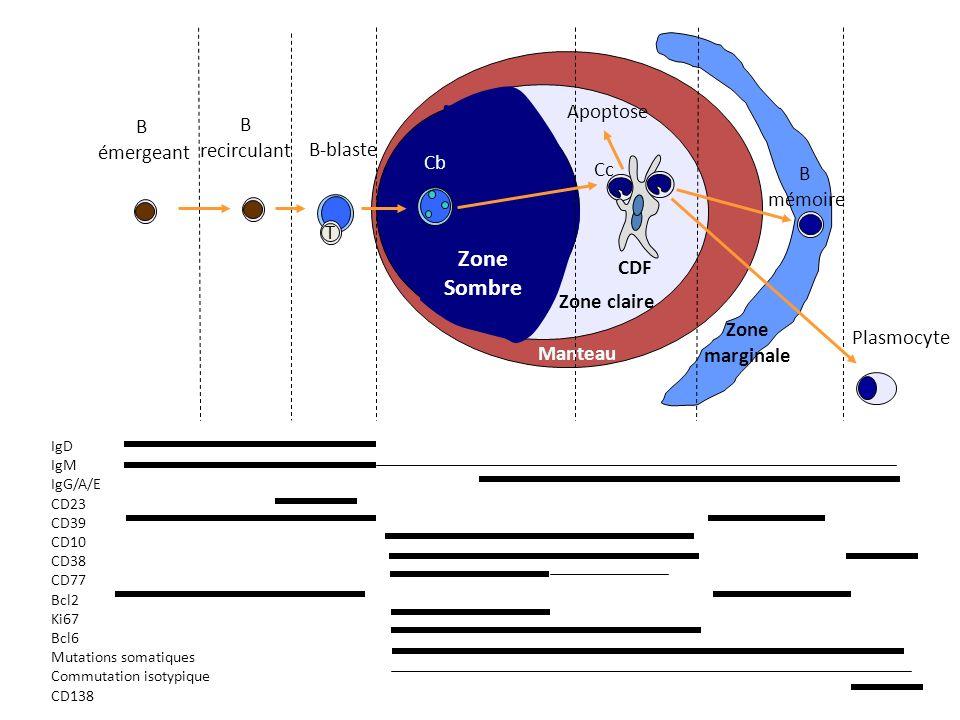 Zone Sombre Zone claire Manteau Zone marginale T B émergeant B recirculant B-blaste Cc Cb B mémoire Apoptose CDF Plasmocyte IgD IgM IgG/A/E CD23 CD39 CD10 CD38 CD77 Bcl2 Ki67 Bcl6 Mutations somatiques Commutation isotypique CD138
