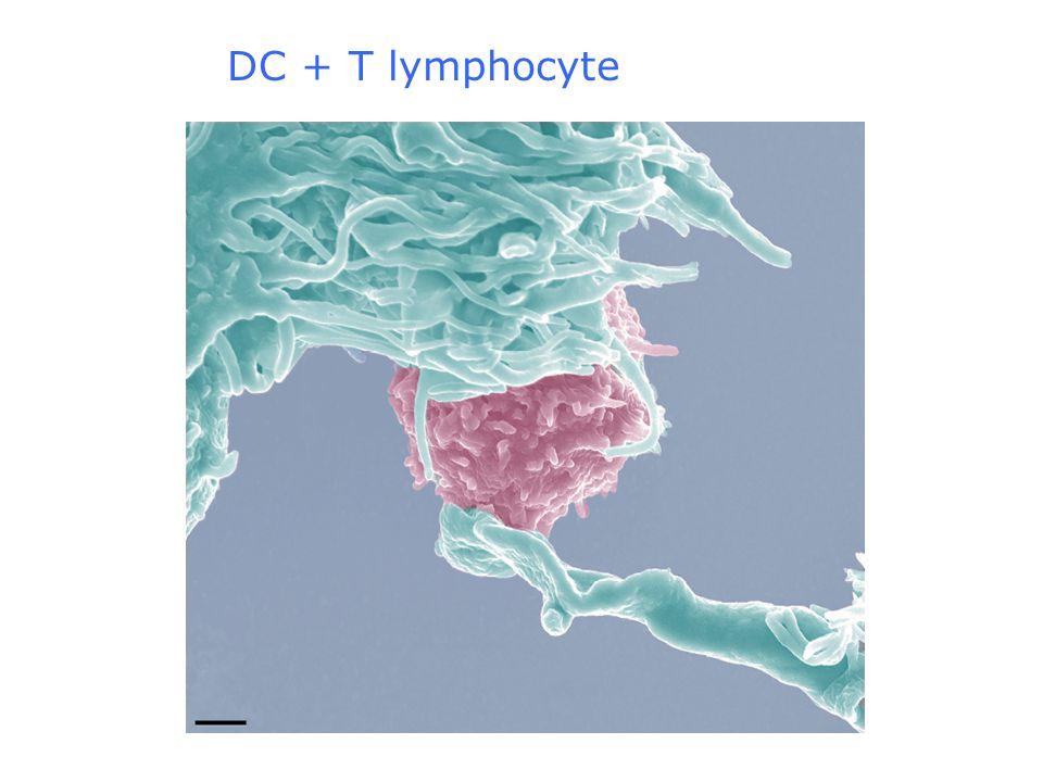 DC + T lymphocyte
