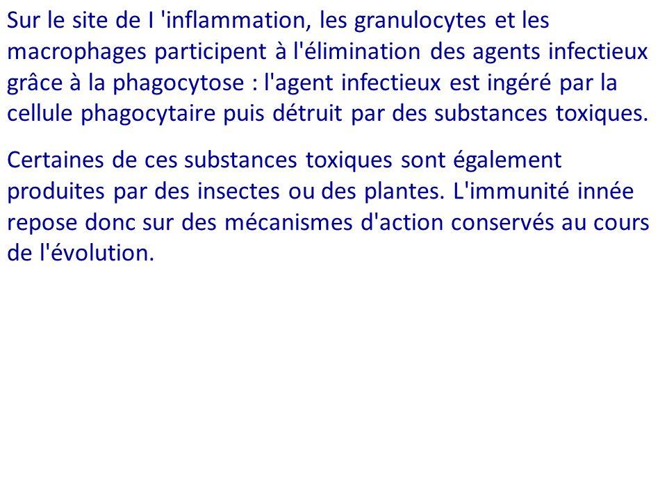 Sur le site de I 'inflammation, les granulocytes et les macrophages participent à l'élimination des agents infectieux grâce à la phagocytose : l'agent
