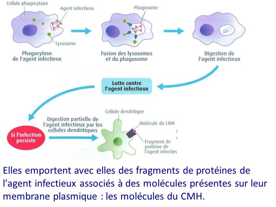 Elles emportent avec elles des fragments de protéines de l'agent infectieux associés à des molécules présentes sur leur membrane plasmique : les moléc