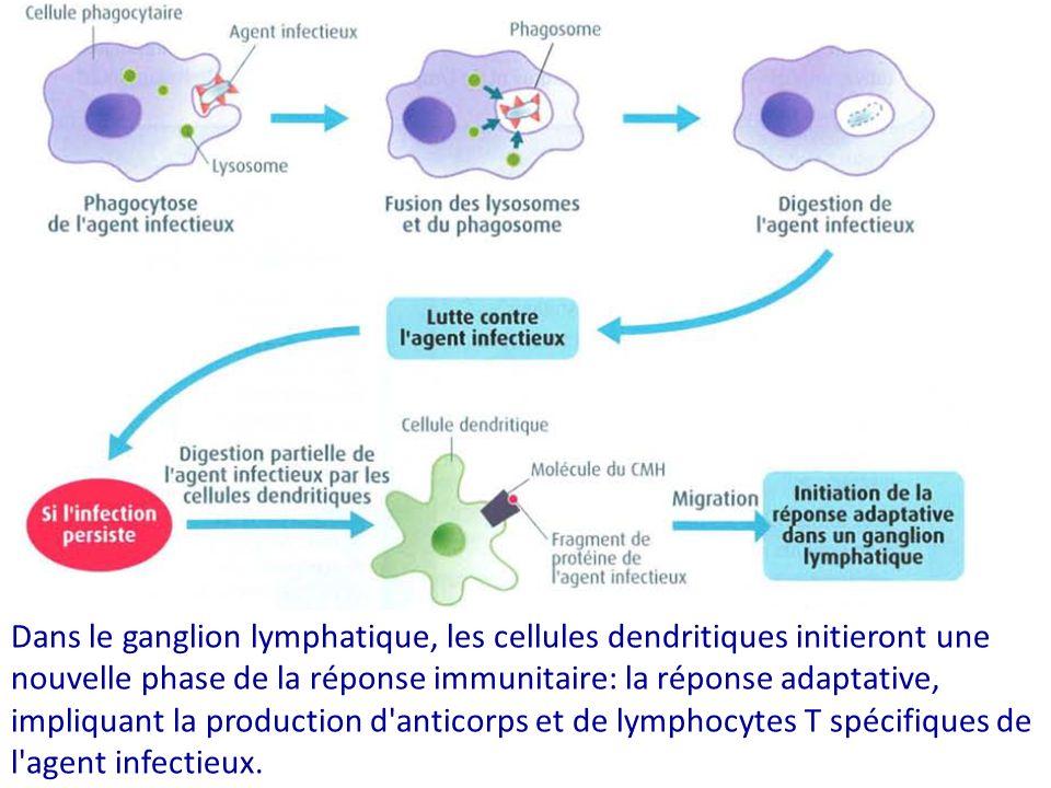 Dans le ganglion lymphatique, les cellules dendritiques initieront une nouvelle phase de la réponse immunitaire: la réponse adaptative, impliquant la