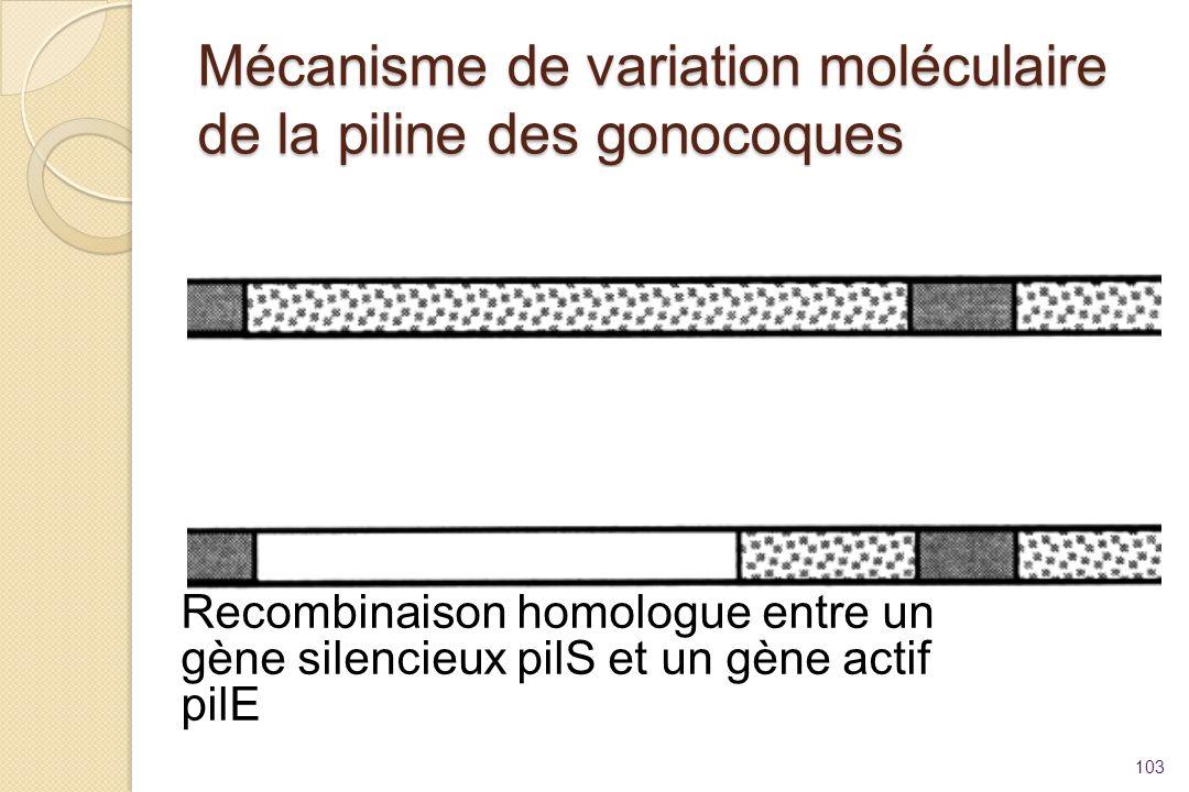 Mécanisme de variation moléculaire de la piline des gonocoques 103 Recombinaison homologue entre un gène silencieux pilS et un gène actif pilE