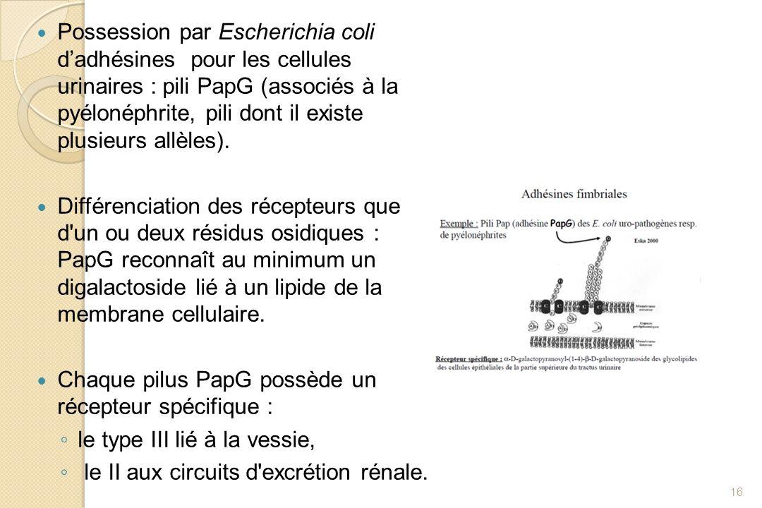 Possession par Escherichia coli dadhésines pour les cellules urinaires : pili PapG (associés à la pyélonéphrite, pili dont il existe plusieurs allèles