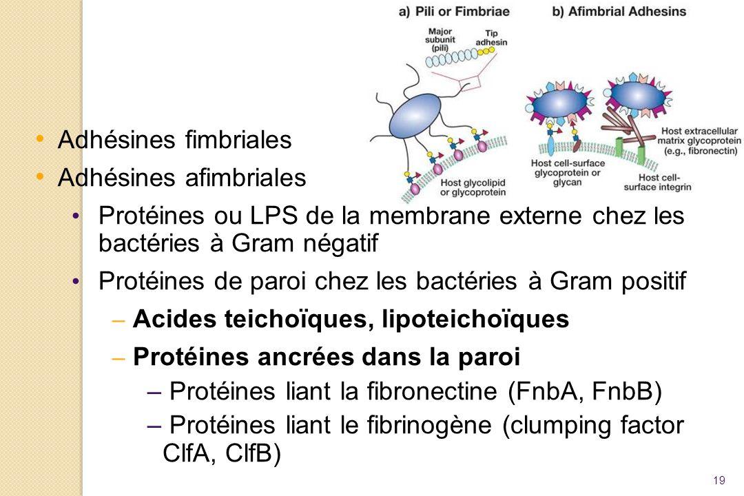 19 Adhésines fimbriales Adhésines afimbriales Protéines ou LPS de la membrane externe chez les bactéries à Gram négatif Protéines de paroi chez les ba