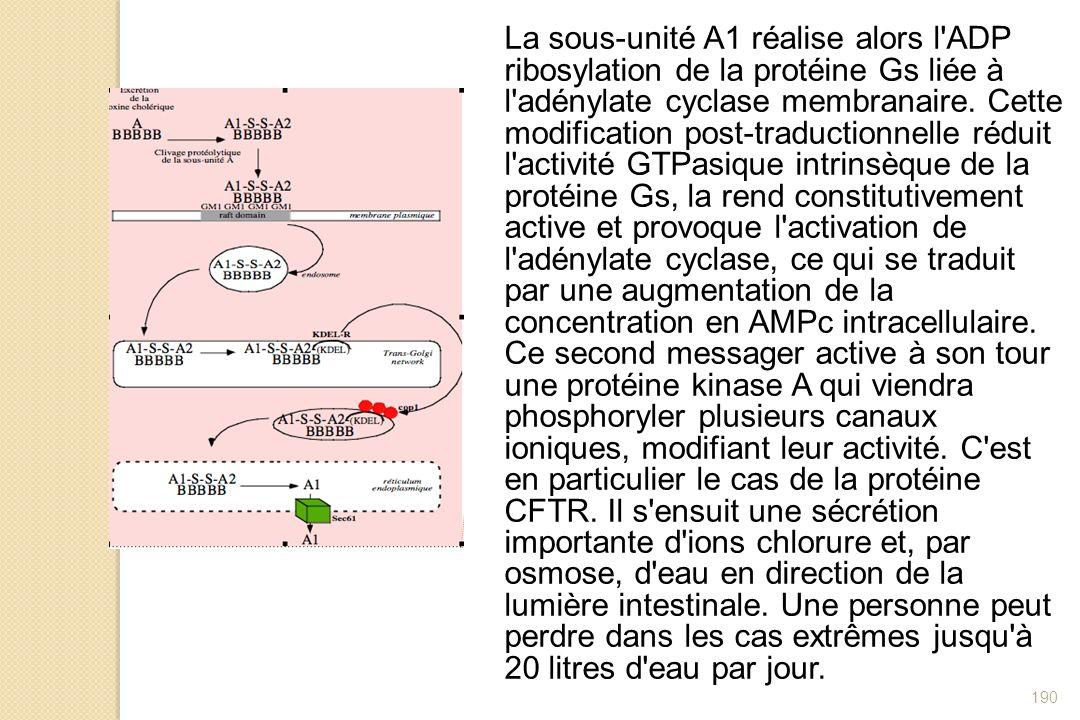 190 La sous-unité A1 réalise alors l'ADP ribosylation de la protéine Gs liée à l'adénylate cyclase membranaire. Cette modification post-traductionnell