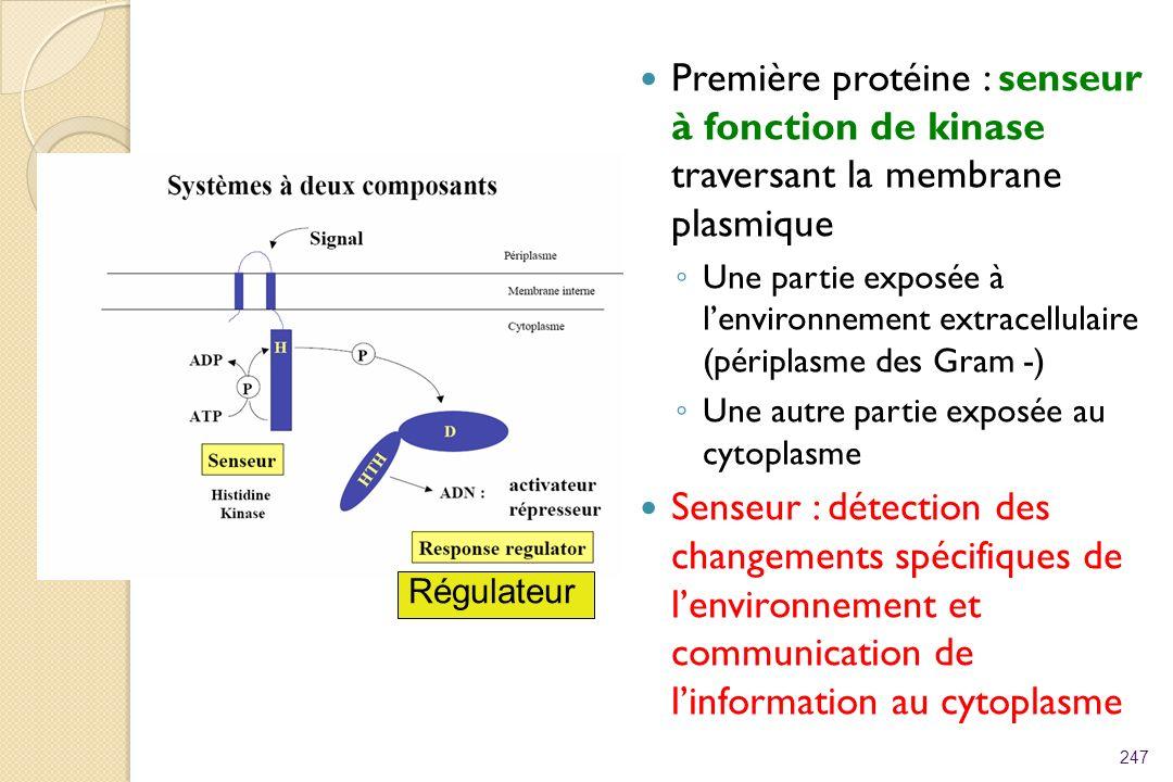 Première protéine : senseur à fonction de kinase traversant la membrane plasmique Une partie exposée à lenvironnement extracellulaire (périplasme des