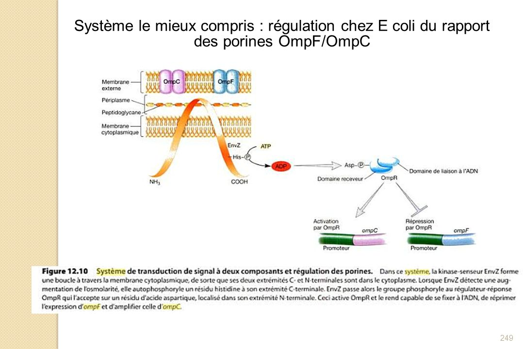 249 Système le mieux compris : régulation chez E coli du rapport des porines OmpF/OmpC