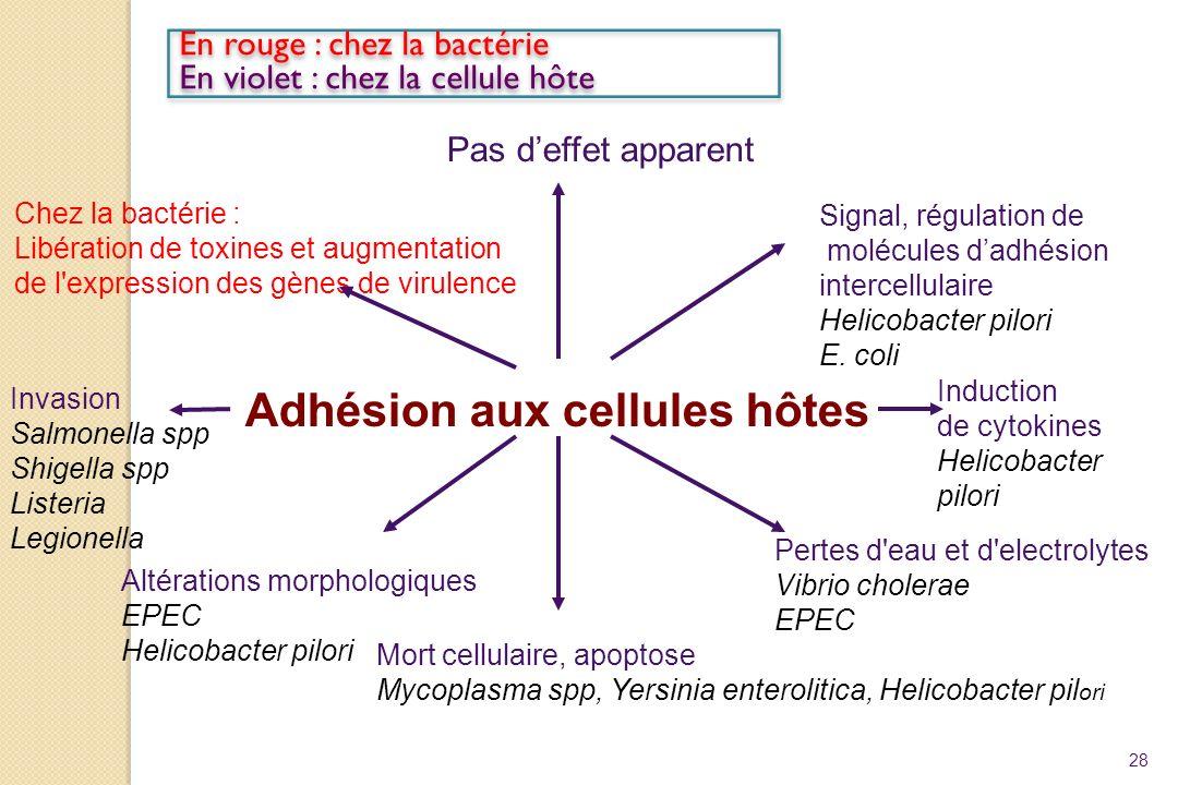 28 Adhésion aux cellules hôtes Pas deffet apparent Signal, régulation de molécules dadhésion intercellulaire Helicobacter pilori E. coli Chez la bacté