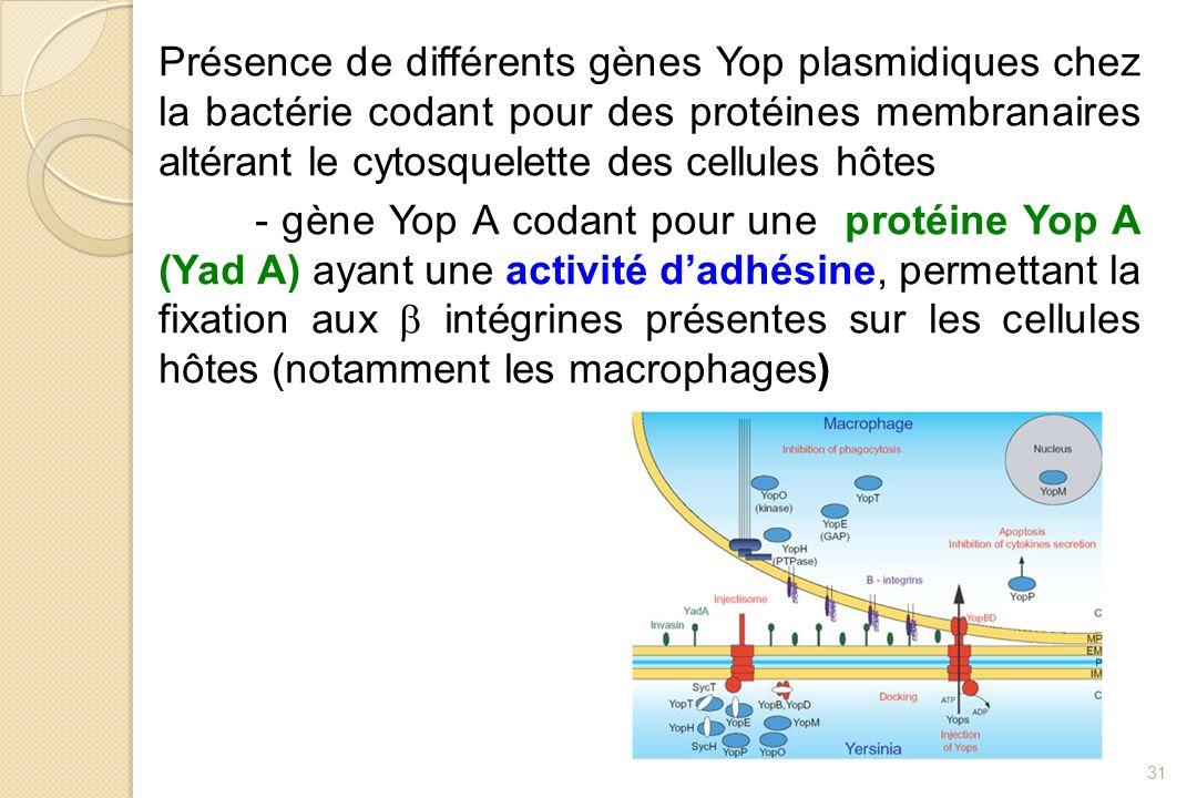 Présence de différents gènes Yop plasmidiques chez la bactérie codant pour des protéines membranaires altérant le cytosquelette des cellules hôtes - g