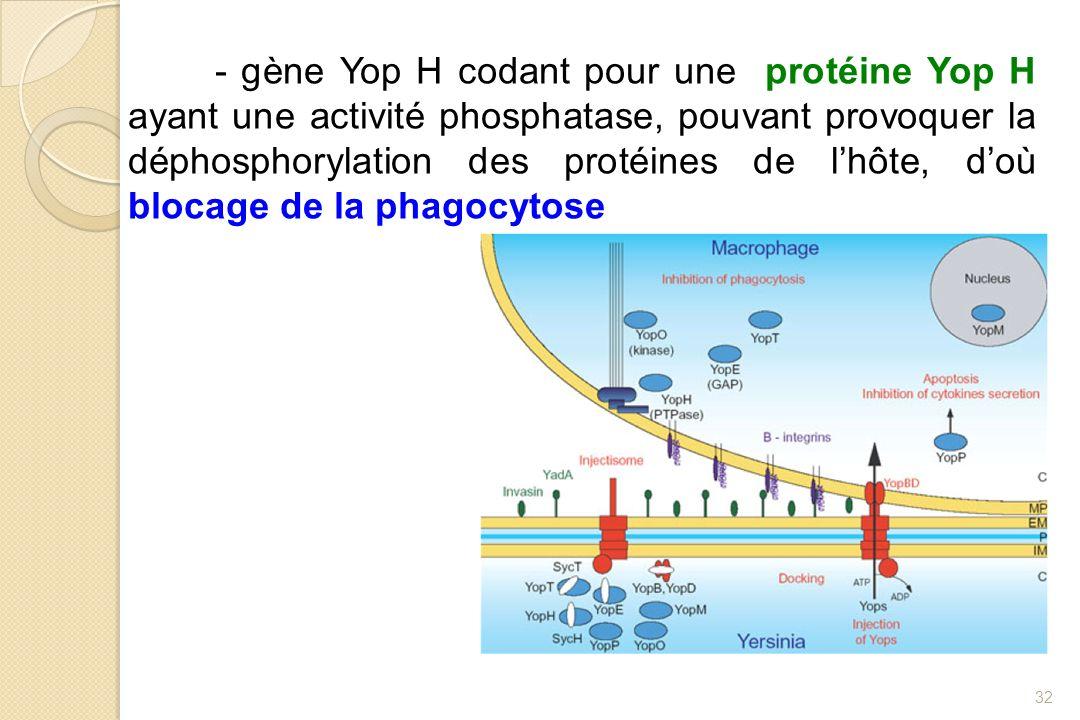 - gène Yop H codant pour une protéine Yop H ayant une activité phosphatase, pouvant provoquer la déphosphorylation des protéines de lhôte, doù blocage
