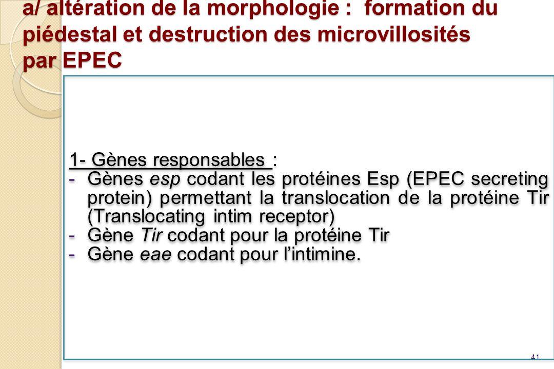 a/ altération de la morphologie : formation du piédestal et destruction des microvillosités par EPEC 41 1- Gènes responsables : -Gènes esp codant les
