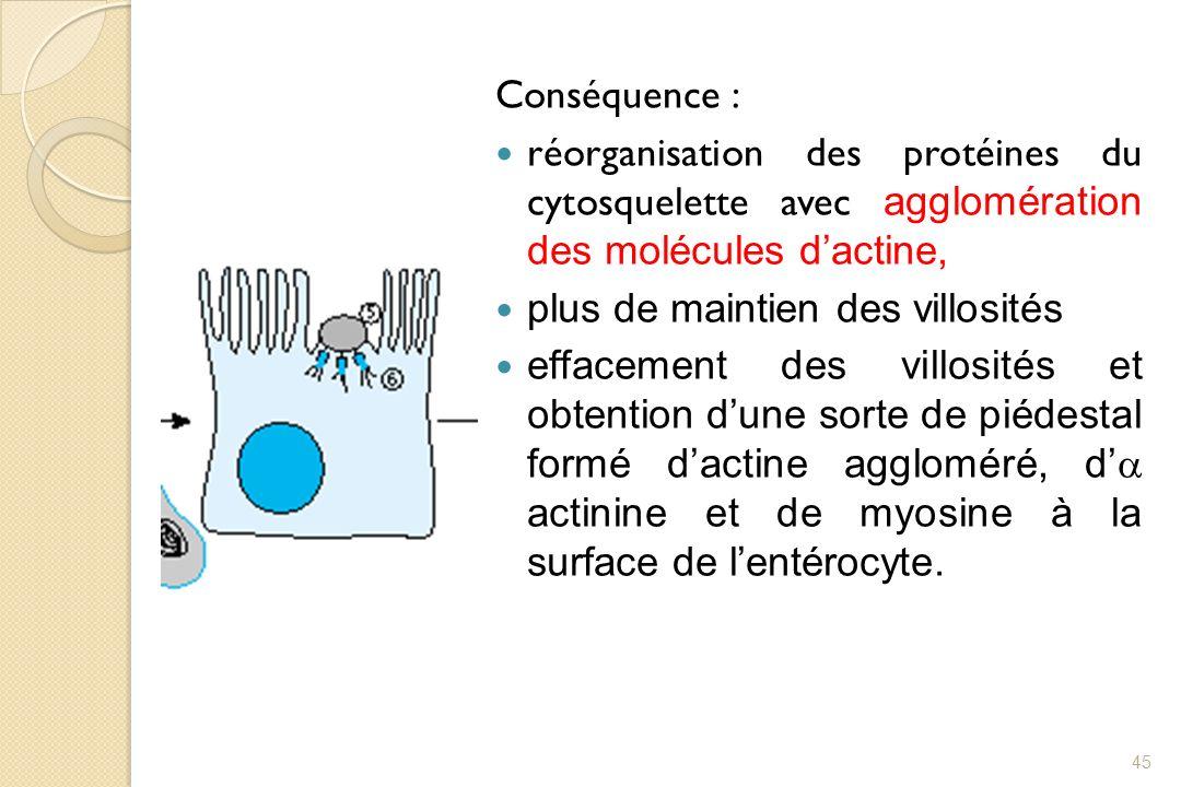 Conséquence : réorganisation des protéines du cytosquelette avec agglomération des molécules dactine, plus de maintien des villosités effacement des v