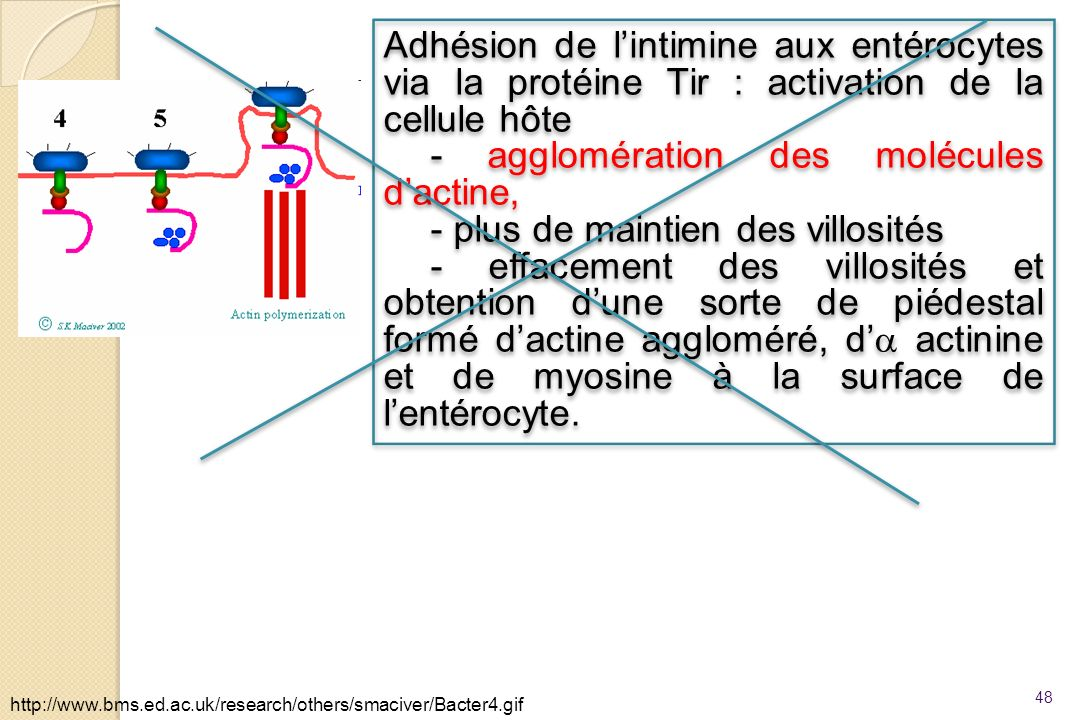48 http://www.bms.ed.ac.uk/research/others/smaciver/Bacter4.gif Adhésion de lintimine aux entérocytes via la protéine Tir : activation de la cellule h