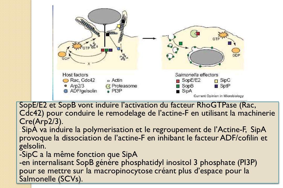 62 SopE/E2 et SopB vont induire lactivation du facteur RhoGTPase (Rac, Cdc42) pour conduire le remodelage de lactine-F en utilisant la machinerie Cre(