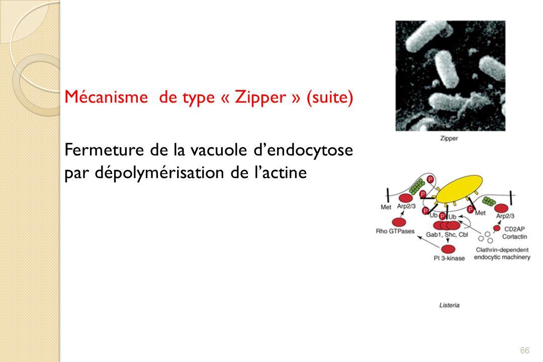 Mécanisme de type « Zipper » (suite) Fermeture de la vacuole dendocytose par dépolymérisation de lactine 66