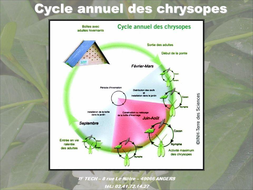 Larve de chrysope, insecte polyphage: Larve de chrysope, insecte polyphage: prédateur de pucerons (noirs, verts, cendrés, …), de cochenilles (farineuses), de thrips, daleurodes (adultes et larves), acariens (œufs), teigne… IF TECH – 8 rue Le Nôtre – 49066 ANGERS tél.: 02.41.72.14.27 oeuf thrips aleurode puceron cochenille