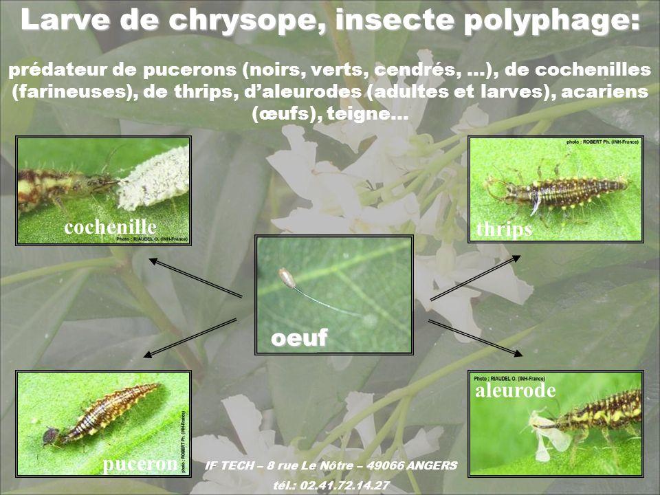 Larve de chrysope, insecte polyphage: Larve de chrysope, insecte polyphage: prédateur de pucerons (noirs, verts, cendrés, …), de cochenilles (farineus