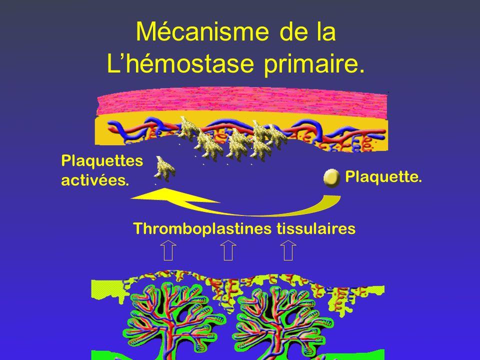 Mécanisme de la Lhémostase primaire. Thromboplastines tissulaires Plaquettes activées. Plaquette.