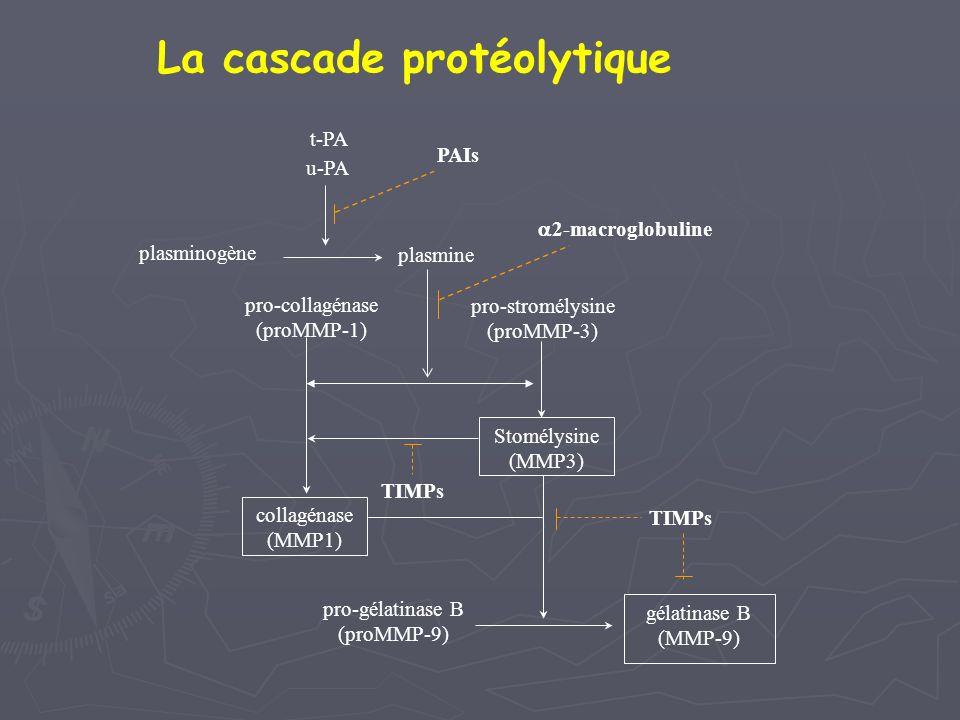 t-PA u-PA plasminogène plasmine pro-collagénase (proMMP-1) pro-stromélysine (proMMP-3) Stomélysine (MMP3) collagénase (MMP1) gélatinase B (MMP-9) pro-