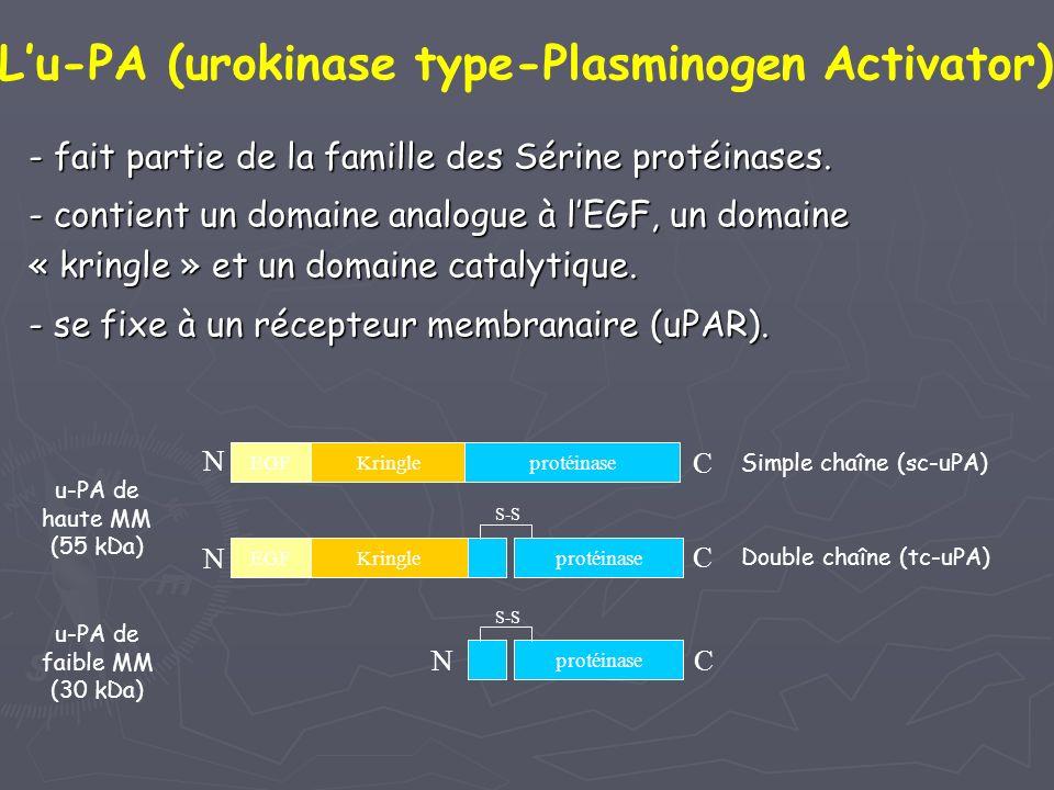 - fait partie de la famille des Sérine protéinases. - contient un domaine analogue à lEGF, un domaine « kringle » et un domaine catalytique. - se fixe