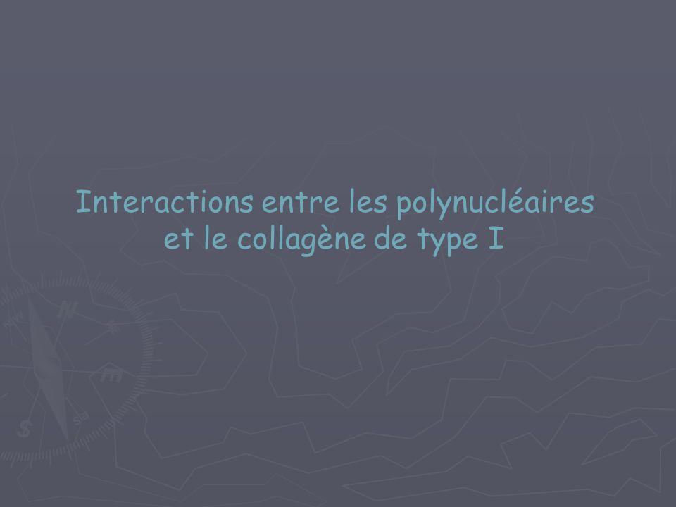 Interactions entre les polynucléaires et le collagène de type I