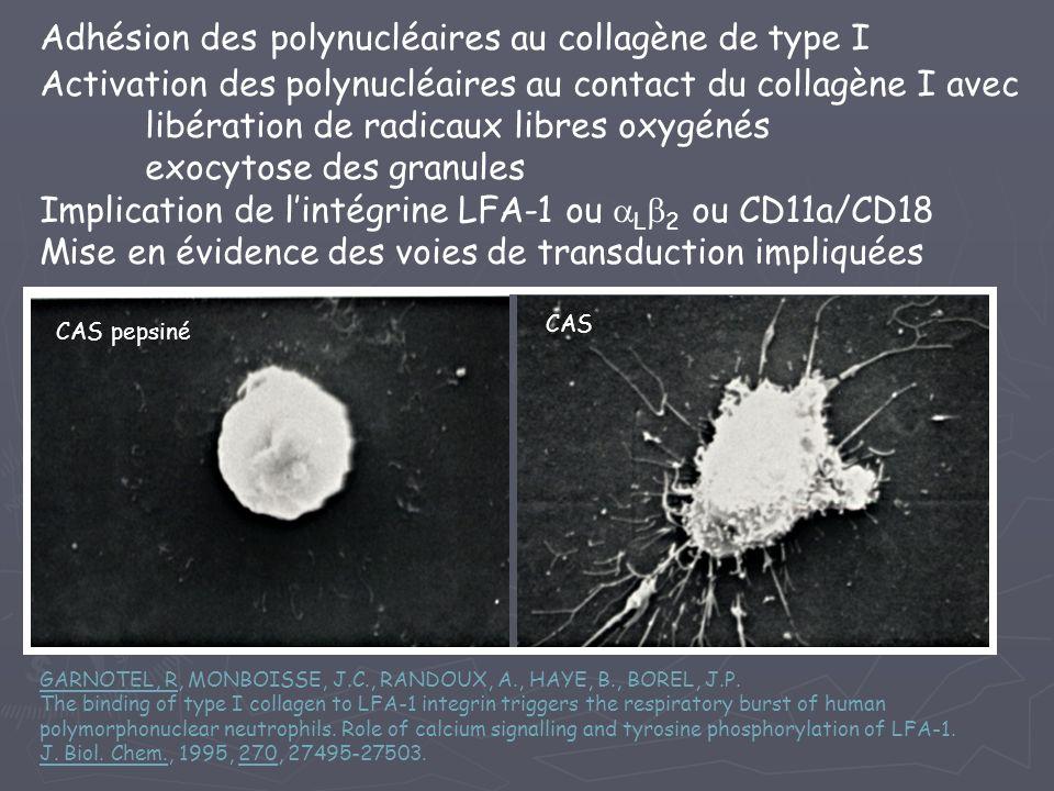 Adhésion des polynucléaires au collagène de type I Activation des polynucléaires au contact du collagène I avec libération de radicaux libres oxygénés