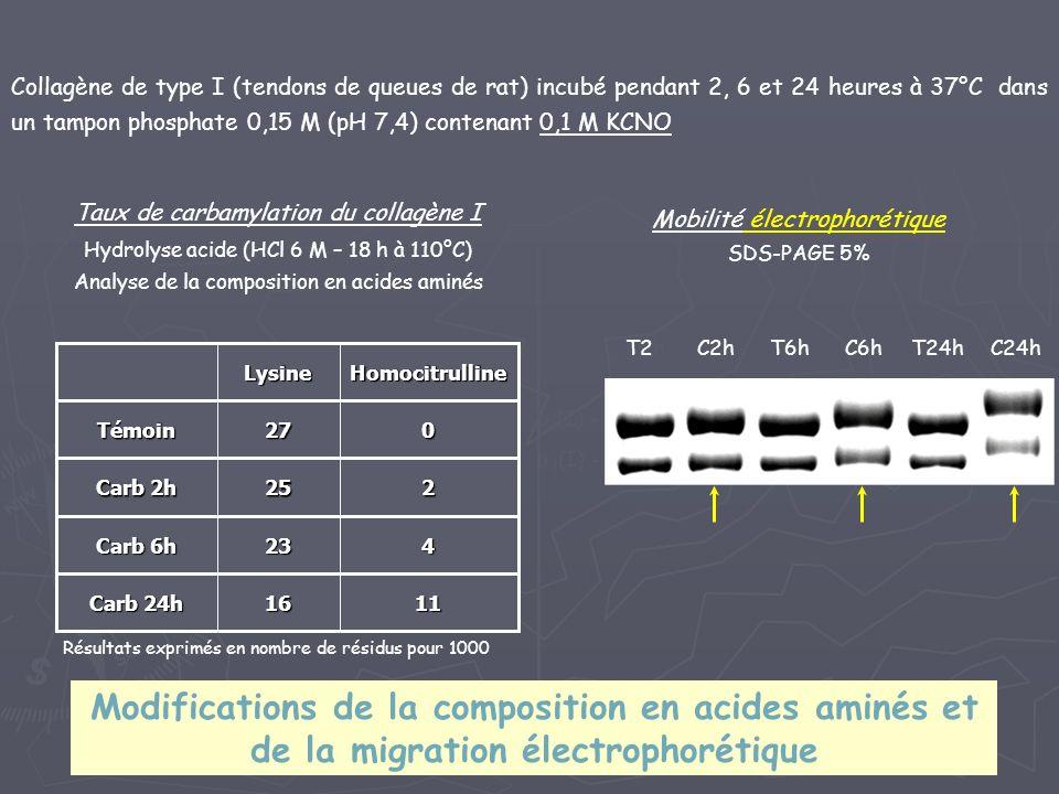 Collagène de type I (tendons de queues de rat) incubé pendant 2, 6 et 24 heures à 37°C dans un tampon phosphate 0,15 M (pH 7,4) contenant 0,1 M KCNO 1