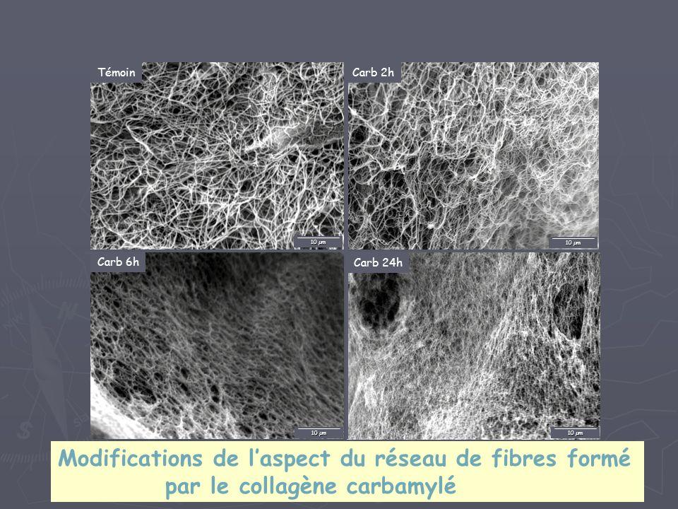 Témoin 10 µm Carb 2h 10 µm Carb 24h 10 µm Carb 6h 10 µm Modifications de laspect du réseau de fibres formé par le collagène carbamylé