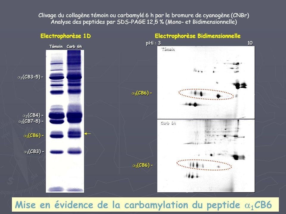 1 (CB3) - 1 (CB3) - 1 (CB6) - 1 (CB6) - 1 (CB7-8) - 1 (CB7-8) - 2 (CB4) - 2 (CB4) - 2 (CB3-5) - 2 (CB3-5) - Clivage du collagène témoin ou carbamylé 6