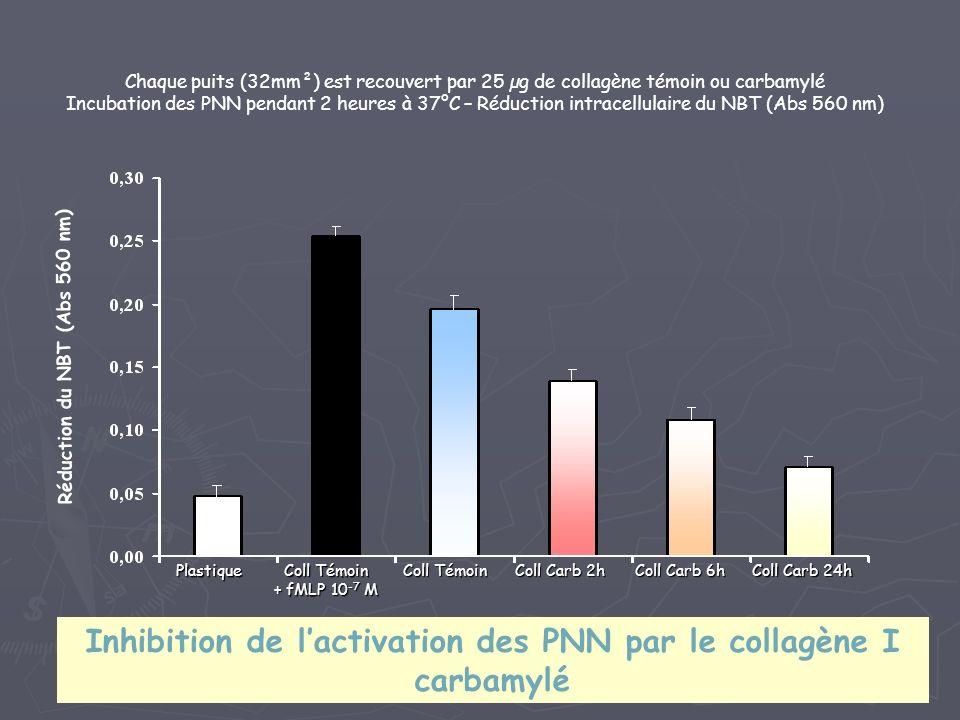 Réduction du NBT (Abs 560 nm) Chaque puits (32mm²) est recouvert par 25 µg de collagène témoin ou carbamylé Incubation des PNN pendant 2 heures à 37°C