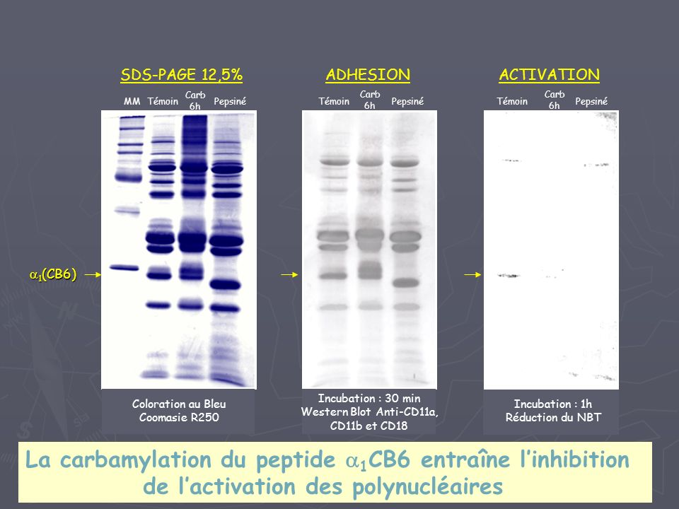 1 (CB6) 1 (CB6) SDS-PAGE 12,5%ADHESIONACTIVATION MMTémoin Carb 6h Pepsiné Coloration au Bleu Coomasie R250 Témoin Carb 6h Pepsiné Incubation : 30 min Western Blot Anti-CD11a, CD11b et CD18 Témoin Carb 6h Pepsiné Incubation : 1h Réduction du NBT La carbamylation du peptide 1 CB6 entraîne linhibition de lactivation des polynucléaires