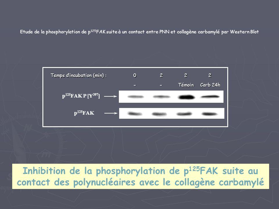 Etude de la phosphorylation de p 125 FAK suite à un contact entre PNN et collagène carbamylé par Western Blot p 125 FAK p 125 FAK P [Y 397 ] --Témoin