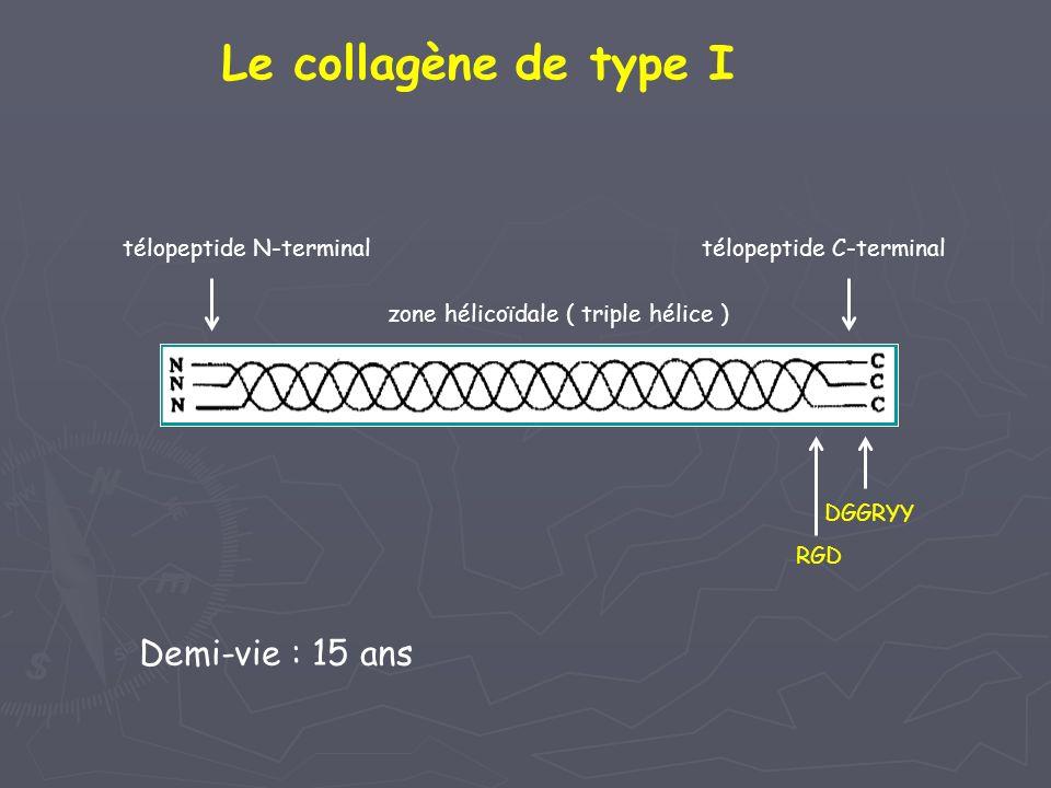 télopeptide N-terminaltélopeptide C-terminal zone hélicoïdale ( triple hélice ) Le collagène de type I DGGRYY RGD Demi-vie : 15 ans