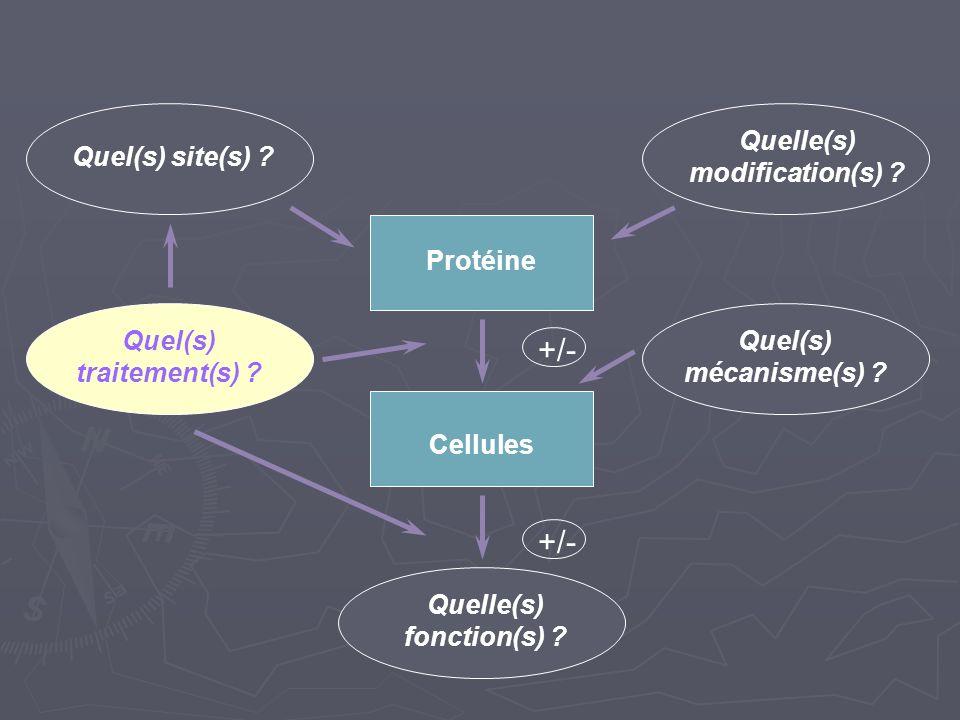 +/- Quel(s) site(s) ? Quelle(s) modification(s) ? Protéine Quel(s) mécanisme(s) ? Quel(s) traitement(s) ? +/- Cellules Quelle(s) fonction(s) ?