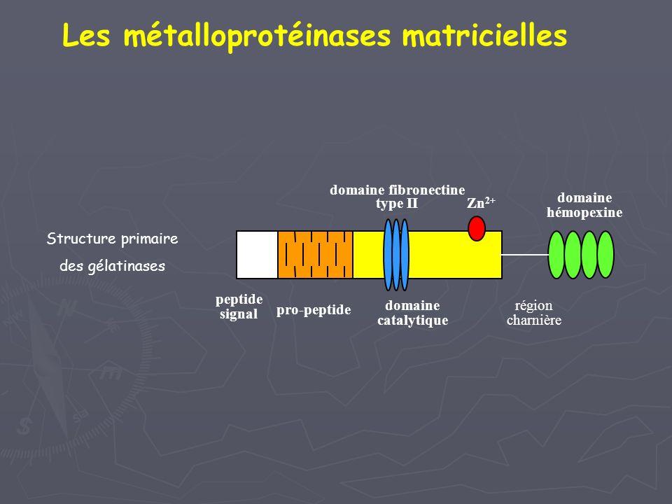 peptide signal pro-peptide domaine catalytique Structure primaire des gélatinases région charnière domaine hémopexine domaine fibronectine type II Zn