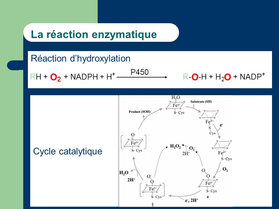 La réaction enzymatique Réaction dhydroxylation RH + O 2 + NADPH + H + R-R- O -H + H 2 O + NADP + P450 Cycle catalytique