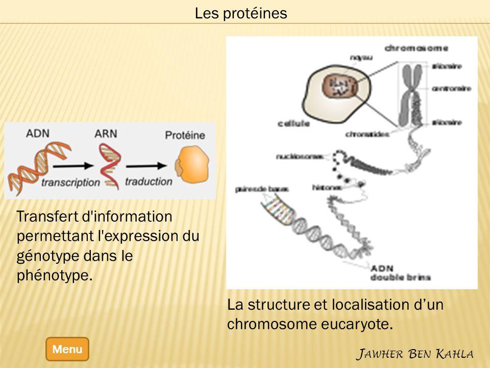 Menu J AWHER B EN K AHLA Les protéines Transfert d'information permettant l'expression du génotype dans le phénotype. La structure et localisation dun