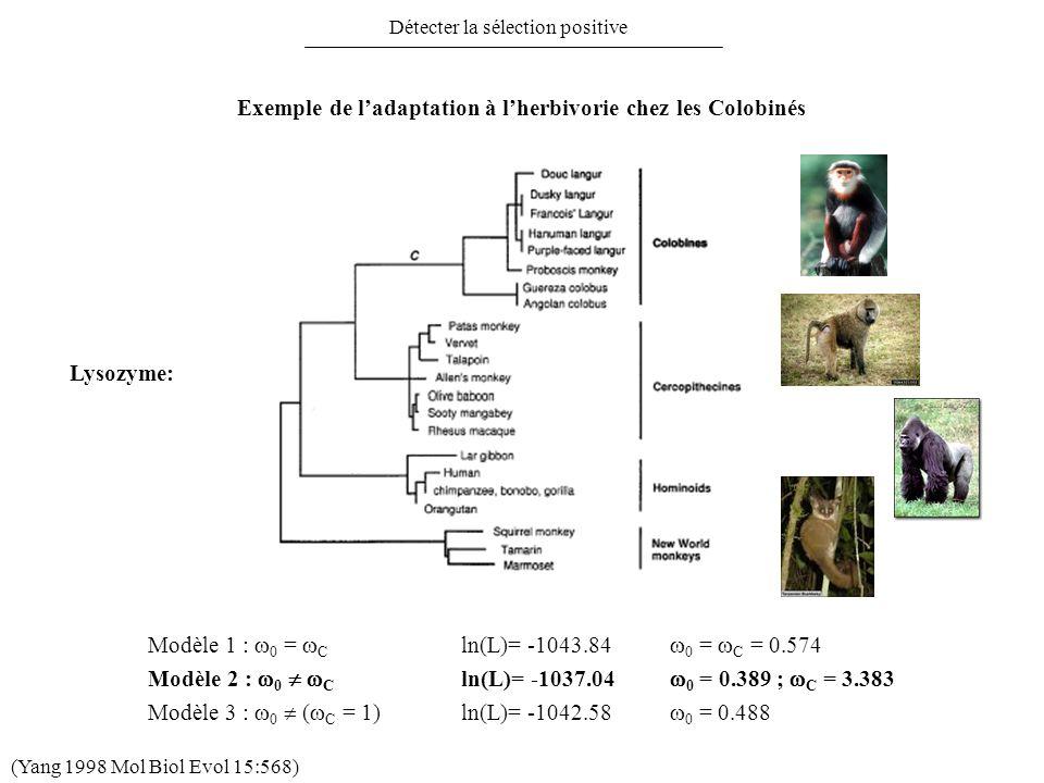 Détecter la sélection positive Exemple de ladaptation à lherbivorie chez les Colobinés Modèle 2 : 0 C ln(L)= -1037.04 0 = 0.389 ; C = 3.383 Modèle 1 :