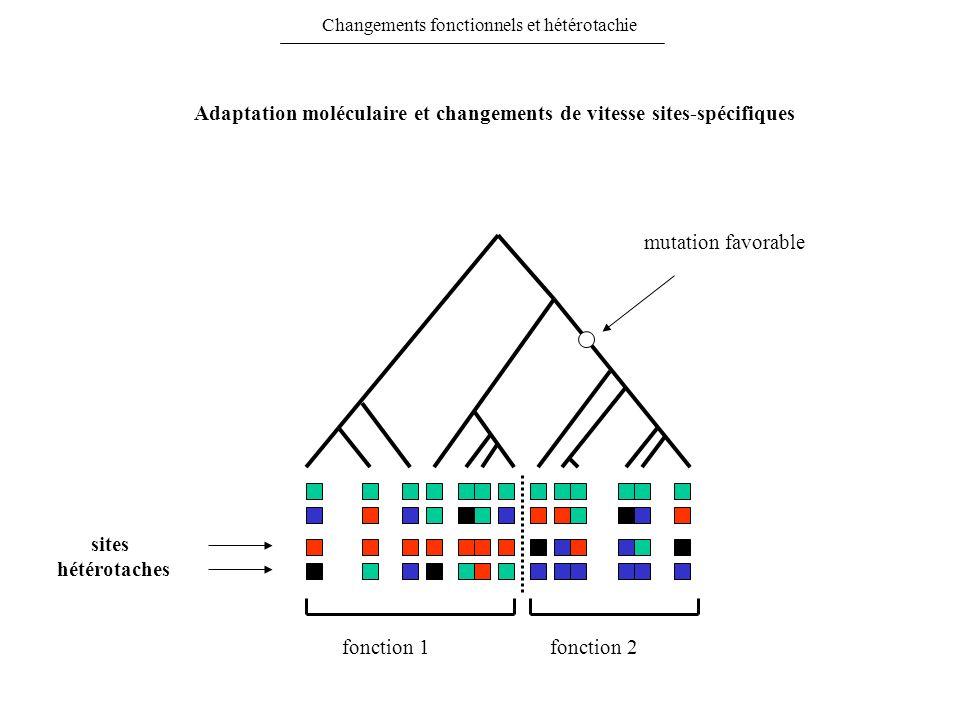 Changements fonctionnels et hétérotachie mutation favorable fonction 1fonction 2 sites hétérotaches Adaptation moléculaire et changements de vitesse s