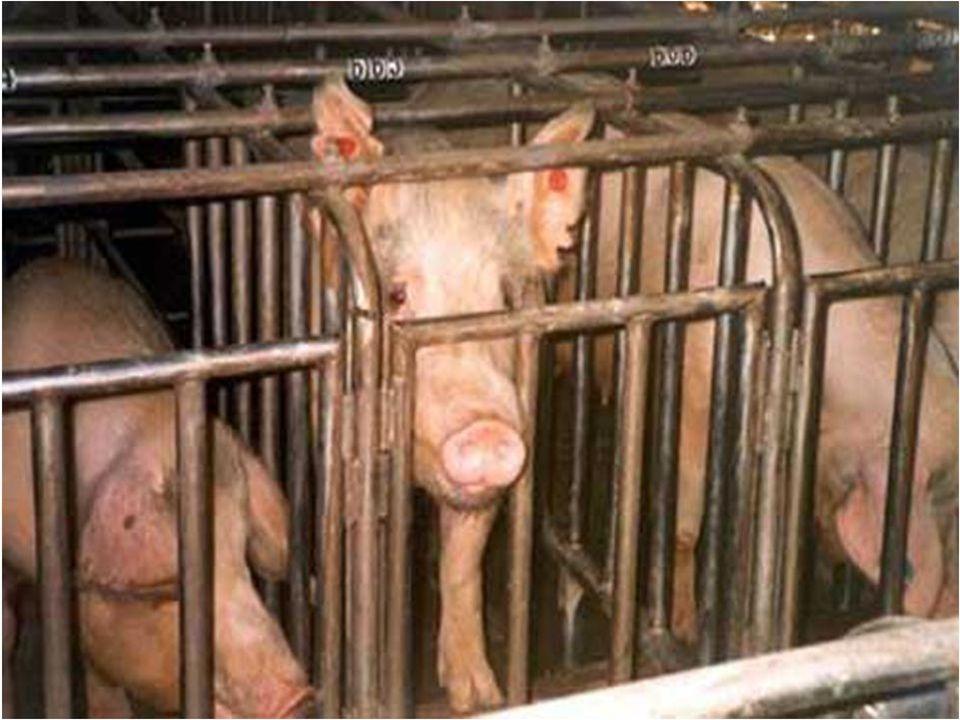 Les 4,5 millions de tonnes d'OGM importés en France partent dans lalimentation des porcs, volailles, vaches, …