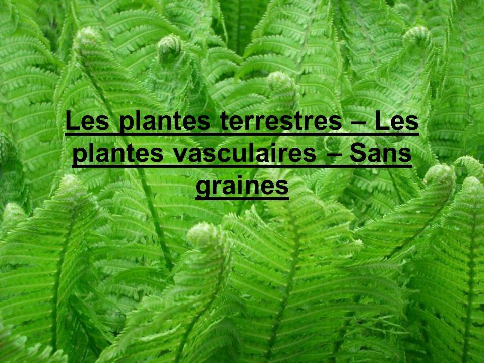 Les plantes terrestres – Les plantes vasculaires – Sans graines