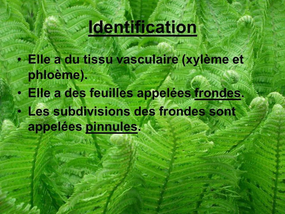 Identification Elle a du tissu vasculaire (xylème et phloème).