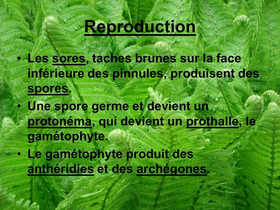 Reproduction Les sores, taches brunes sur la face inférieure des pinnules, produisent des spores.