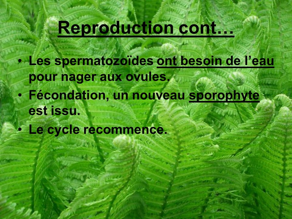 Reproduction cont… Les spermatozoïdes ont besoin de leau pour nager aux ovules.