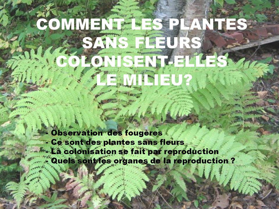 COMMENT LES PLANTES SANS FLEURS COLONISENT-ELLES LE MILIEU? - Observation des fougères - Ce sont des plantes sans fleurs - La colonisation se fait par