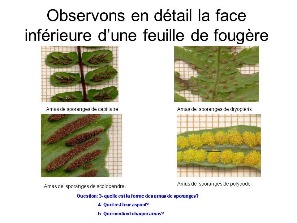 Observons en détail la face inférieure dune feuille de fougère Amas de sporanges de capillaire Amas de sporanges de dryopteris Amas de sporanges de sc