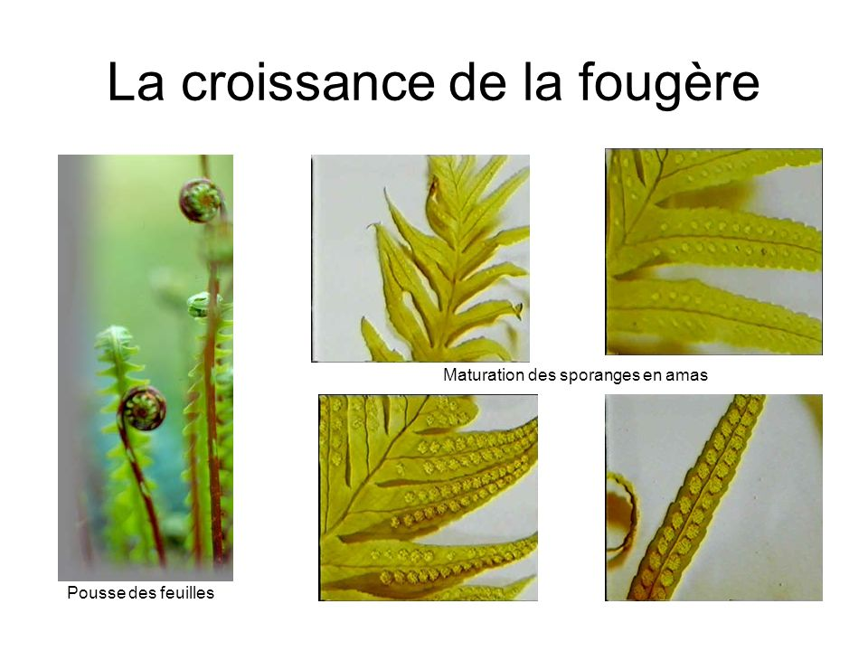 La croissance de la fougère Pousse des feuilles Maturation des sporanges en amas