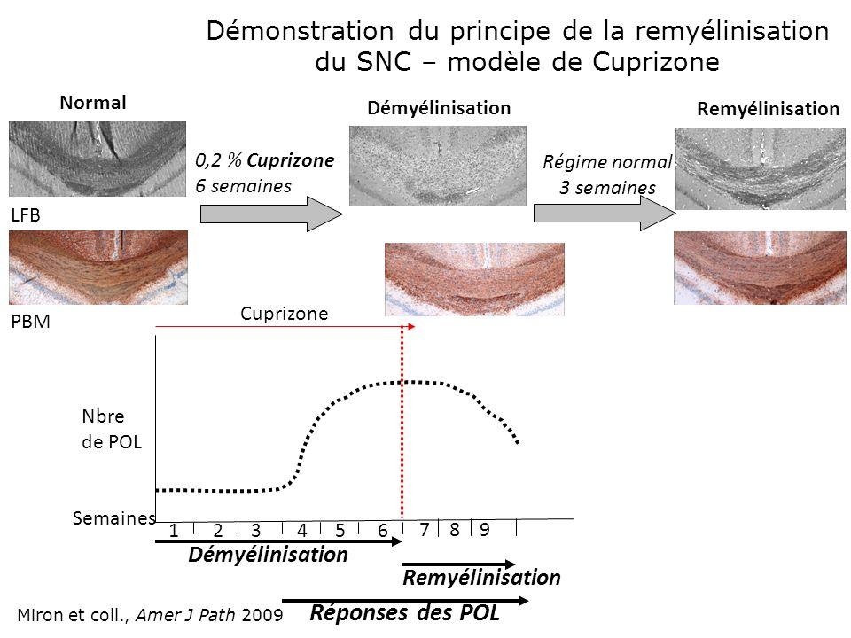 Normal 0,2 % Cuprizone 6 semaines Démyélinisation Remyélinisation Régime normal 3 semaines Semaines Nbre de POL 123456 7 8 9 Démyélinisation Remyélini